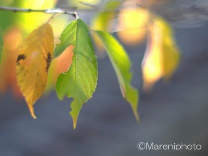 紅葉間近の葉