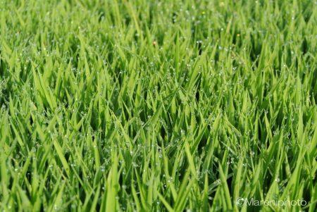 田植え前の稲