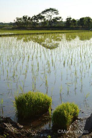 田植え後の水田