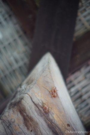 高床倉庫の梁につくセミの抜け殻