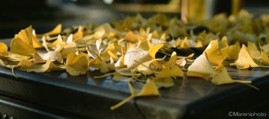 黄葉した銀杏の葉