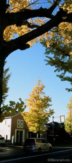 街路樹の銀杏