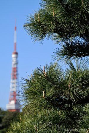 東京タワーを背景に松