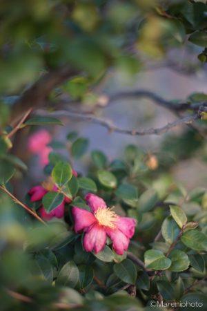 枯れ始めた椿の花