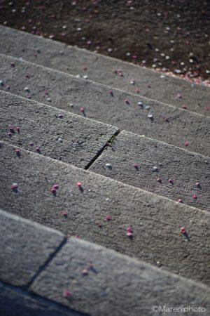 石段と梅の花びら