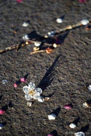 落ちた白梅の花