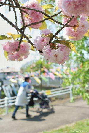 八重桜と鯉のぼりを見るママさん