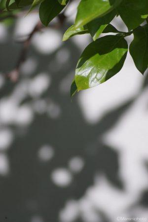 柿の葉と影