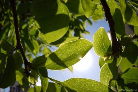 透ける柿の葉