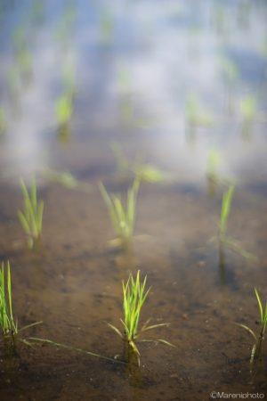 田植え後の稲