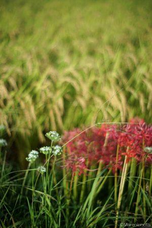 田んぼの草