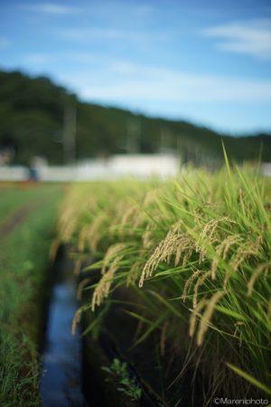こうべを垂れた稲