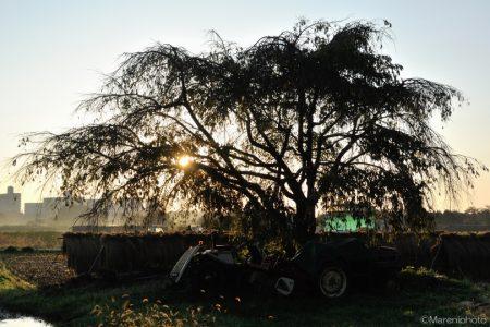 田んぼの木