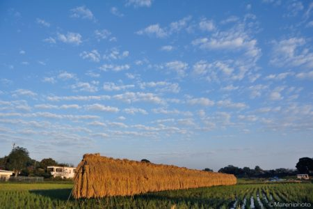 秋の空と天日干しの稲