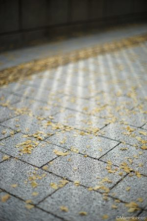 歩道と銀杏の葉