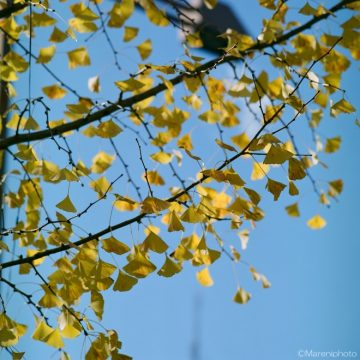 黄葉した銀杏