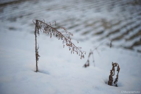 折れた雪中の枯れ草