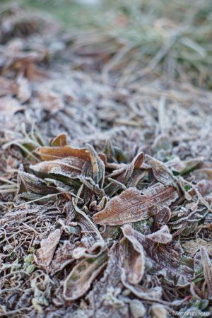 霜の付いた草
