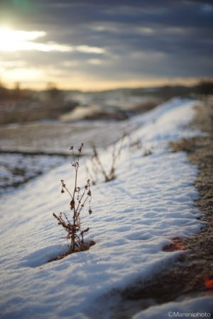 朝日を浴びる雪中の枯れ草