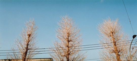 並木のイチョウ