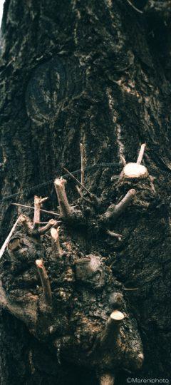 イチョウの幹