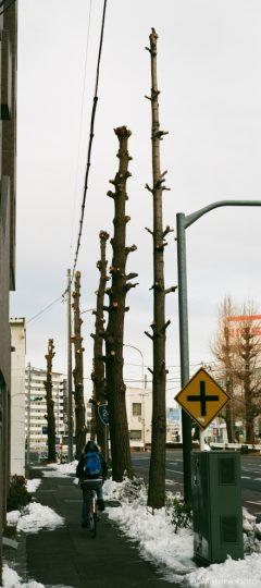 剪定されたイチョウの並木