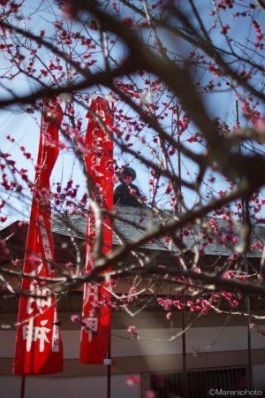 紅梅とのぼり旗