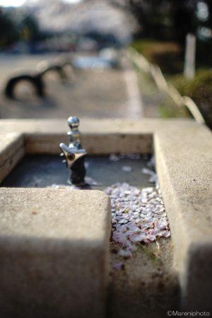 水飲み場の花びら