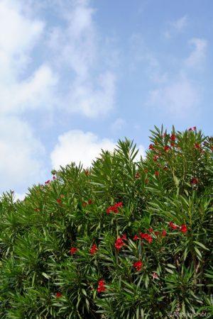 赤い花の咲く木と青空