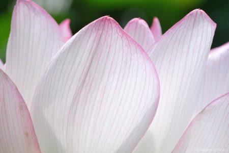 ハスの花びら