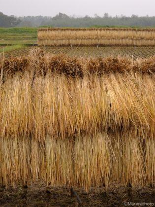 干された稲