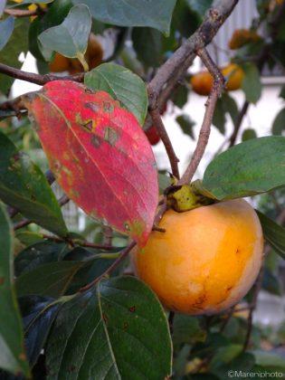 柿の葉と実