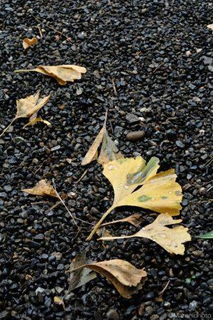 落ちたイチョウの葉
