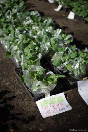 のらぼう菜の苗