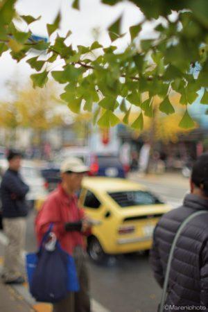 街路樹のイチョウ