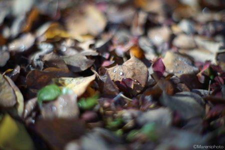 朝露の付いた枯葉