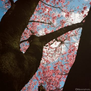 桜の樹と花と空