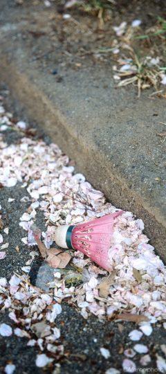 落ちた桜の花びらとバドミントンのシャトル