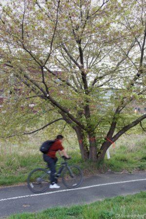 桜の樹と自転車に乗る人