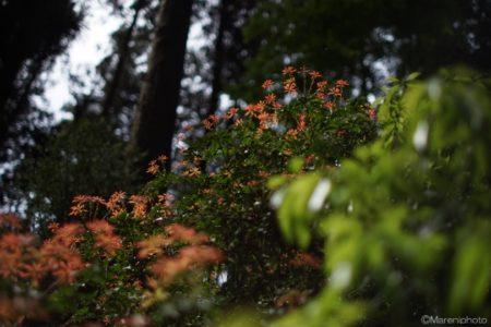 多摩御陵の参道の若木