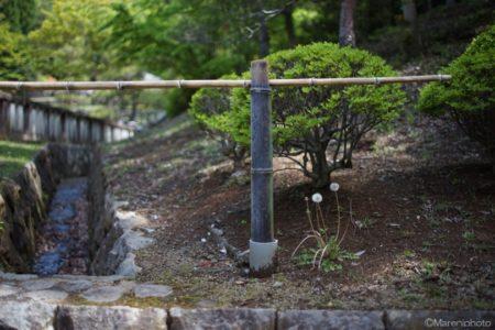 竹の柵と蒲公英