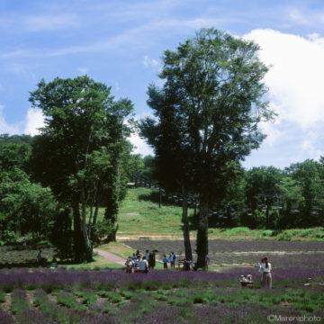 ラベンダー畑の大きな木
