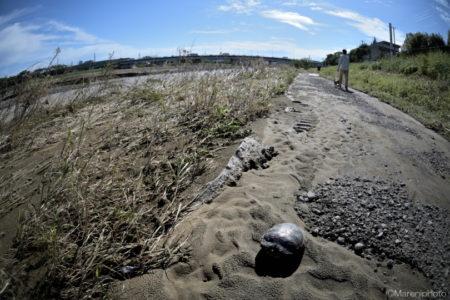 泥をかぶった遊歩道と亀