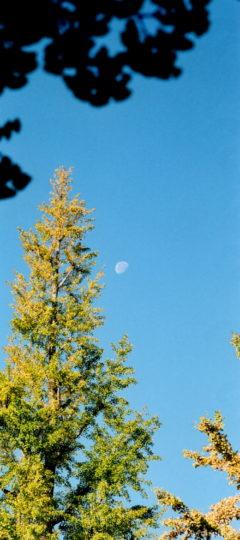 月とイチョウ