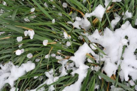 草の上の花びらと雪