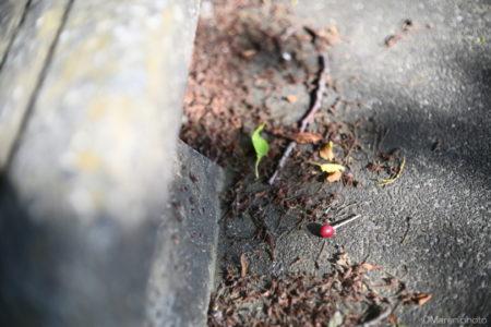 地面に落ちた桜の実