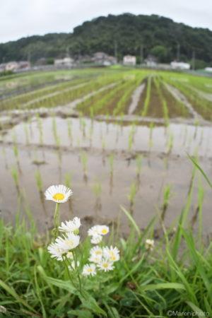 田んぼの畔の春紫苑