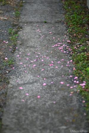 地面に落ちた花びら