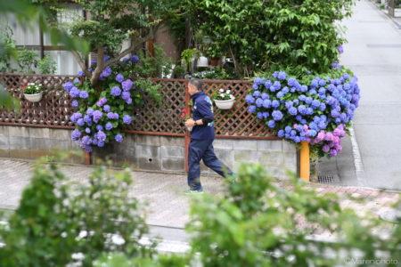 紫陽花とジョギングする人