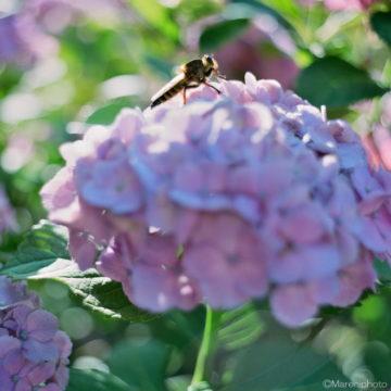 アジサイの花と虫